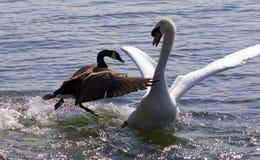 与攻击在湖的加拿大鹅的意想不到的片刻天鹅 库存照片