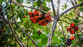 与黑坚果的绿色果子 免版税库存图片