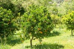 与水多的桔子分支的橙树在春天 免版税库存图片