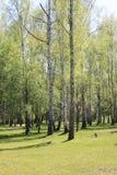 与年轻水多的绿色桦树的美好的风景与绿色叶子和与黑白桦树树干在阳光下 图库摄影