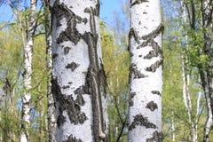 与年轻水多的绿色桦树的美好的风景与绿色叶子和与黑白桦树树干在阳光下 免版税库存照片