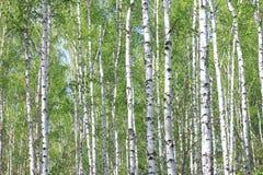 与年轻水多的绿色桦树的美好的风景与绿色叶子和与黑白桦树树干在阳光下 免版税库存图片