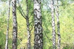 与年轻水多的绿色桦树的美好的风景与绿色叶子和与黑白桦树树干在阳光下 免版税图库摄影