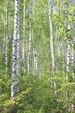与年轻水多的绿色桦树的美好的风景与绿色叶子和与黑白桦树树干在阳光下 库存照片