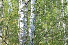 与年轻水多的绿色桦树的美好的风景与绿色叶子和与黑白桦树树干在阳光下 库存图片