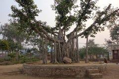 与猴子的小印度榕树 免版税库存图片