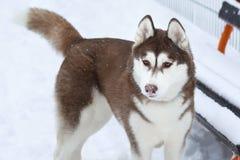 与鼻子的西伯利亚爱斯基摩人狗在雪 免版税库存图片
