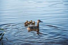 与他们学会的她的孩子的鸭子在水中 免版税库存照片