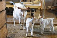 与婴孩孩子的母亲山羊 图库摄影