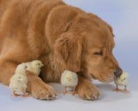 与婴孩小鸡的金毛猎犬 库存照片