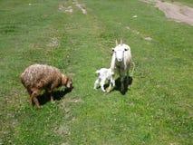 与婴孩的一只山羊和绵羊 免版税库存照片