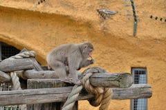 与婴孩的一只幼小母日本短尾猿 免版税库存照片