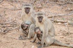 与婴孩的两只黑长尾小猴 图库摄影