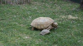 与婴孩的乌龟 免版税图库摄影