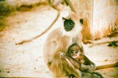 与婴孩的叶猴 免版税图库摄影