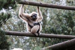 与婴孩的吼猴 图库摄影