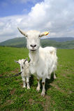 与婴孩的山羊 库存图片