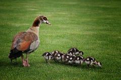 与婴孩的异乎寻常的母亲鸭子 免版税库存照片