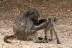 与婴孩的母亲狒狒 库存图片