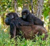 与婴孩的母山地大猩猩 乌干达 Bwindi难贯穿的森林国家公园 免版税库存图片