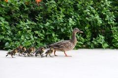 与婴孩的母母亲野鸭鸭子 免版税图库摄影
