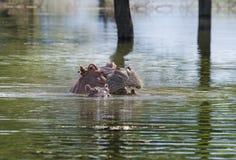 与婴孩的河马在湖 免版税库存图片