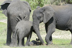 与婴孩的非洲大象大草原的 免版税库存图片