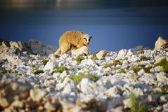 与婴孩的绵羊在海岛Pag和蓝色亚得里亚海上在背景中 库存照片