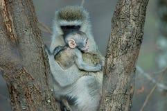 与婴孩的黑长尾小猴 免版税库存照片