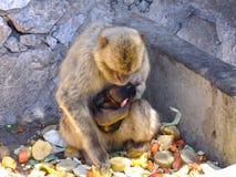 与婴孩的Macac猴子 库存图片