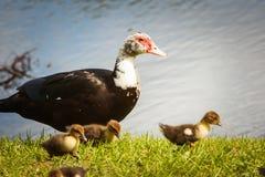与婴孩的Muscovie母鸭子 免版税库存照片