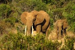 与婴孩走的大象 库存照片