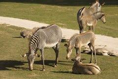 与婴孩Grevy的斑马,马属grevyi的母马, 免版税库存图片