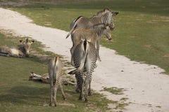 与婴孩Grevy的斑马,马属grevyi的母马, 免版税图库摄影