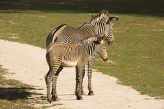 与婴孩Grevy的斑马,马属grevyi的母马, 免版税库存照片