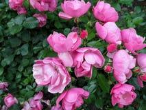 与`安格拉`培育品种许多精美洋红色玫瑰花的典雅的花卉背景  库存图片