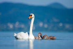 与年轻小鸡的父母天鹅。 免版税库存照片