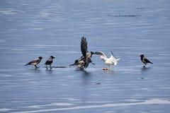 与戴头巾乌鸦战斗的欧洲鲱鸥为在冻湖冰的一条鱼在春天 免版税库存图片