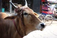 与围巾的印地安母牛 图库摄影