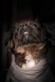 与围巾的狗 免版税图库摄影