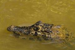与嘴开放水中的部分地被淹没的凯门鳄特写镜头  免版税库存照片