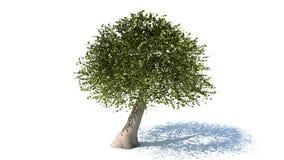 与阴影的树 免版税库存图片
