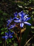 与阴影的狂放的蓝色花 免版税库存照片