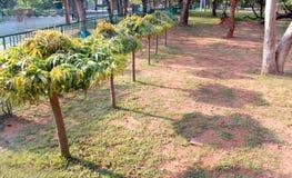 与阴影的Asoka树在公园 免版税库存照片