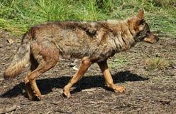 与轻微的行动运动的狼 免版税库存照片