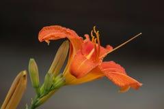 与绽放的五颜六色的橙色黄花菜 库存照片
