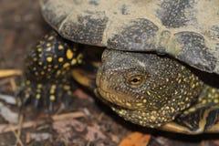与黄斑的淡水乌龟关闭  免版税图库摄影