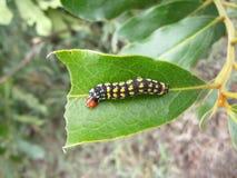 与黄斑的黑毛虫和在叶子的红色头在斯威士兰 免版税图库摄影