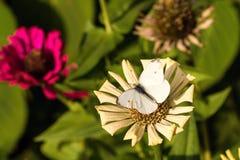 与破旧的翼的白色蝴蝶在干燥绽放 免版税图库摄影