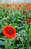 与黑暗的心脏的橙色大丁草花从关闭 免版税库存照片